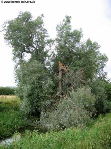 A wind-damaged tree near Cricklade